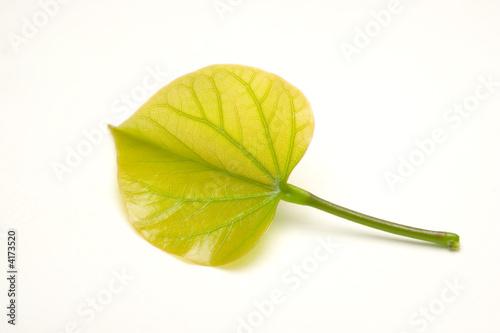 heart shape leaf on white background
