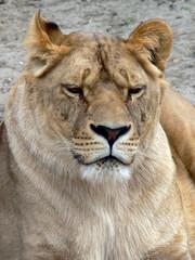 Female Lion Face