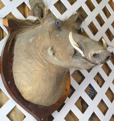 Mounted Stuffed Wild Boar's Head