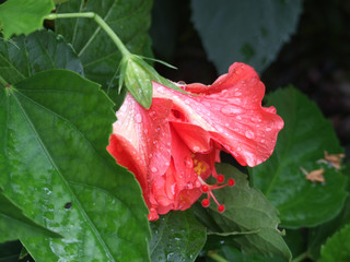 Hibiscus droplets 2