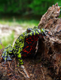 Far-eastern Fire-bellied Toad 7 poster