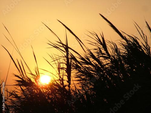 stubble in sunset