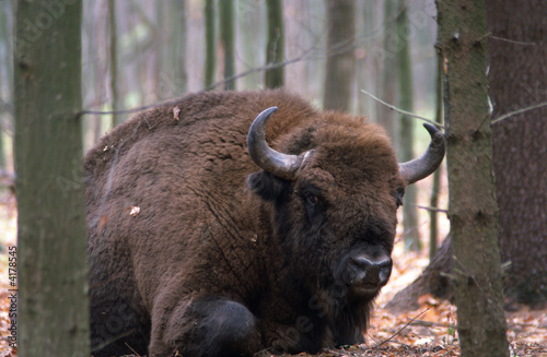 In de dag Bison European bison bull