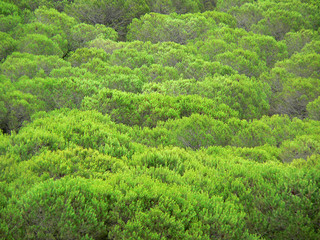 Forêt de pins verts