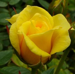 Sweet Rosebud