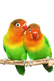 Pair of little lovebirds