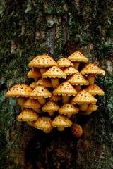 Tree fungus Golden Scalycap