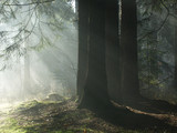 Misty morning in woods poster