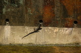 lizard in big drain poster