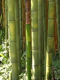 Fototapety Bambus 08
