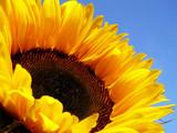 yellow sunflower - 4205179