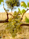 Uvas verdes poster