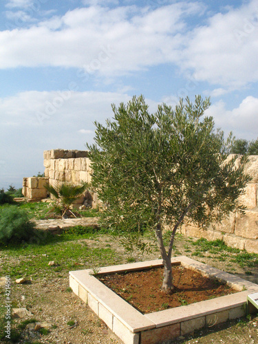Olive tree on mountain Nebo