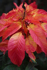 crimson red leaves