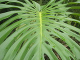 palm leaf closeup in hawaii jungle