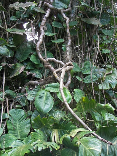 jungle vines and growth hawaii