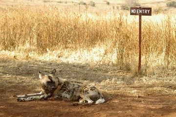 Wild Dog no Entry