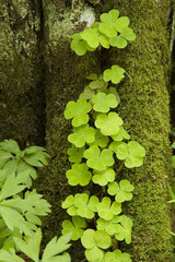 Young sorrel and mossy tree trunk in background