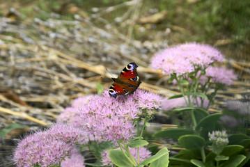 Papillon sur fleur N°3