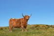 Постер, плакат: Dexter Highland Cow