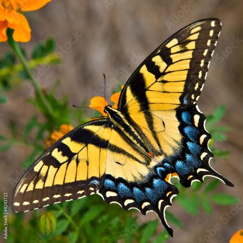 Foto op Canvas Tijger Tiger Swallowtail Butterfly