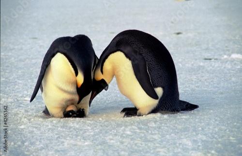 Tuinposter Pinguin Ponte de manchots empereurs