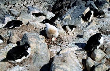 Adélie sur nid de cailloux