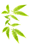 Stem of fern leaves isolated on white background poster