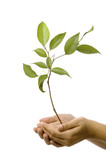 Isolated hands holding a new tree with green leaves - Fine Art prints