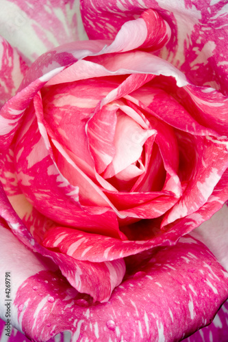 candy-stripe-rose