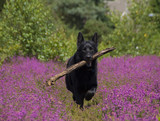 Black German Shepherd in Heather poster