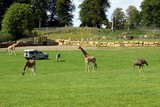 giraffes,zebra,and ostrich in zoo poster