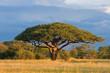 Quadro African Acacia tree, Hwange National Park, Zimbabwe