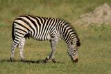 Plains Zebra (Equus quagga) poster