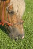 Horse grazing portrait poster