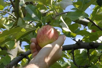 main cueillant une pomme