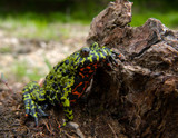 Far-eastern Fire-bellied Toad 5 poster