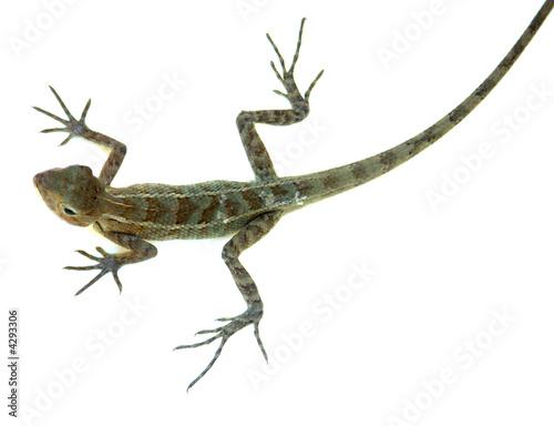 Fotobehang Kameleon agame