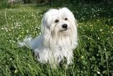 uncommon breed of dog Coton de Tulear poster