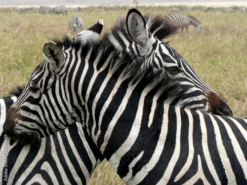 Obraz na Szkle Hugging zebra