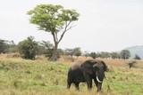 Fototapeta afryka - olbrzym - Dziki Ssak