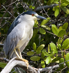 Black Crown Night Heron on a branch.