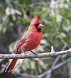 Male Northern Cardinal on a branch