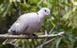 Collared Dove on a branch