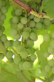 white grape cluster closeup on a vineyeard poster