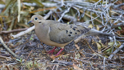Mourning Dove on the ground