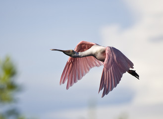 Spoonbill in flight over trees