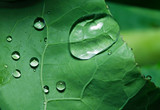 Macro shot of drops on green cabbage leaf