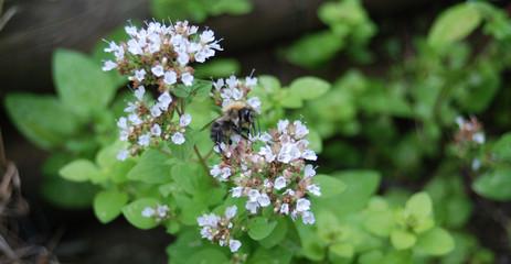 Baby Honey Bee Feeding on Oregano Blossom