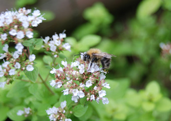 Bee Feeding on Oregano Blossom